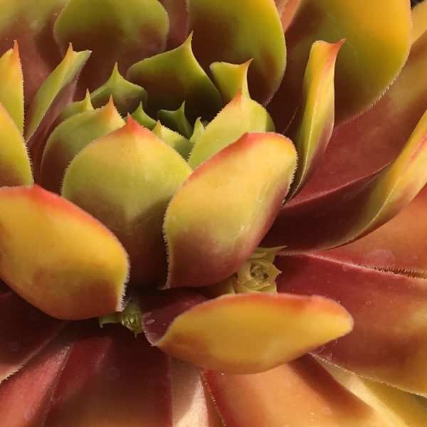 SEMPERVIVUM CHICK CHARMS GOLD NUGGET HEN AND CHICKS