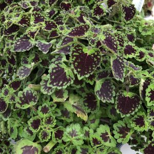 SOLENOSTEMON CHOCOLATE DROP COLEUS