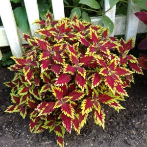 SOLENOSTEMON COLORBLAZE APPLE BRANDY COLEUS