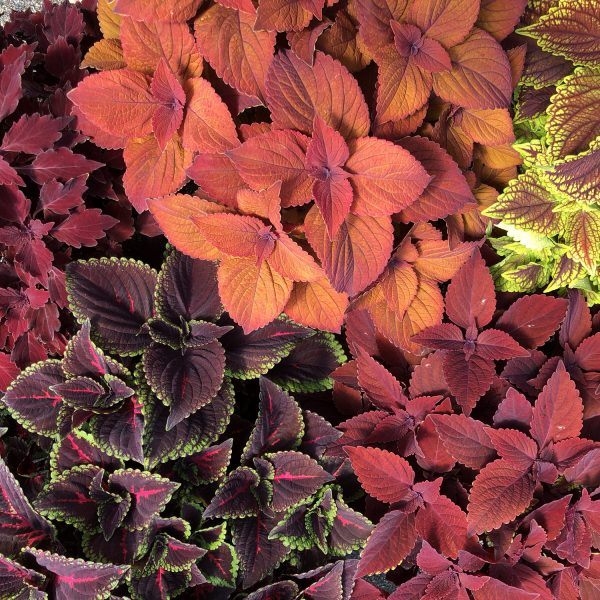 SOLENOSTEMON COLORBLAZE CHERRY BRANDY COLEUS
