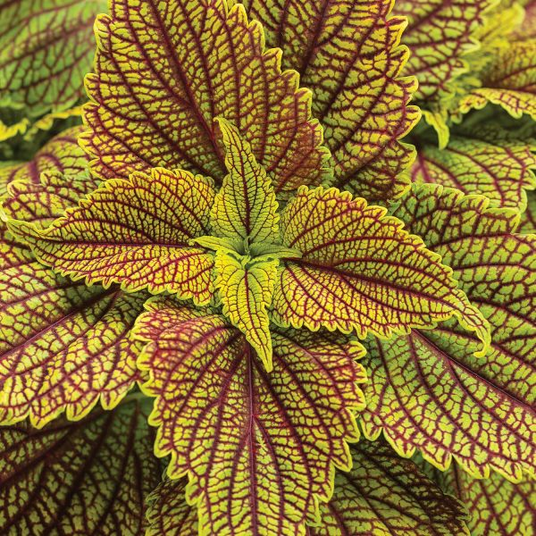 SOLENOSTEMON COLORBLAZE GOLDEN DREAMS COLEUS