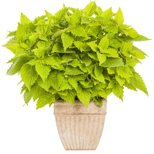 SOLENOSTEMON COLORBLAZE LIME TIME COLEUS