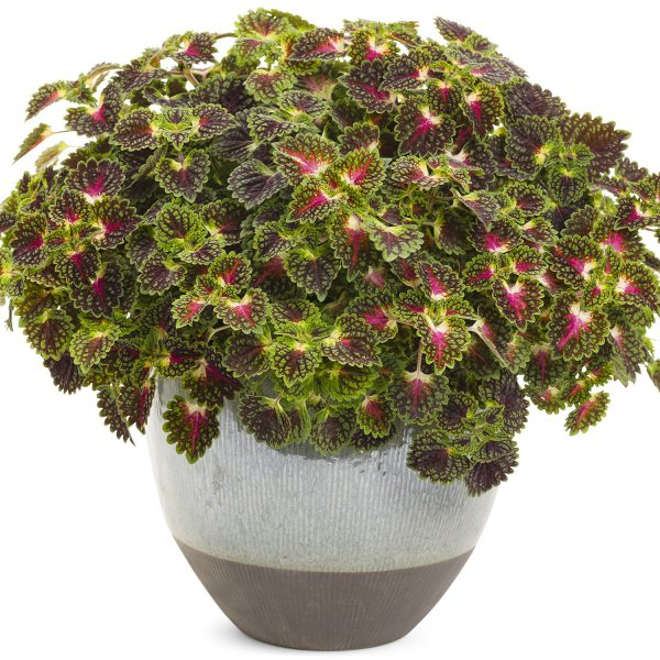 SOLENOSTEMON STRAWBERRY DROP COLEUS