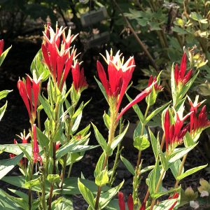 SPIGELIA LITTLE REDHEAD INDIAN PINK