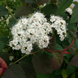 SPIRAEA DOUBLE PLAY BLUE KAZOO SPIREA