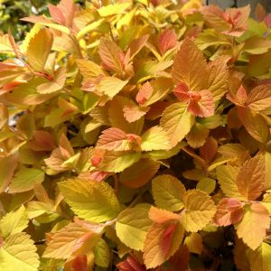 SPIRAEA DOUBLE PLAY CANDY CORN SPIREA