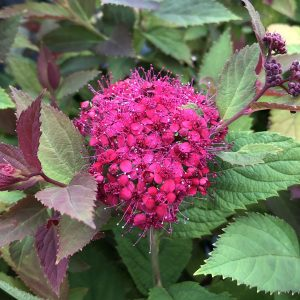 SPIRAEA DOUBLE PLAY DOOZIE SPIREA