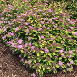 SPIRAEA DOUBLE PLAY GOLD SPIREA