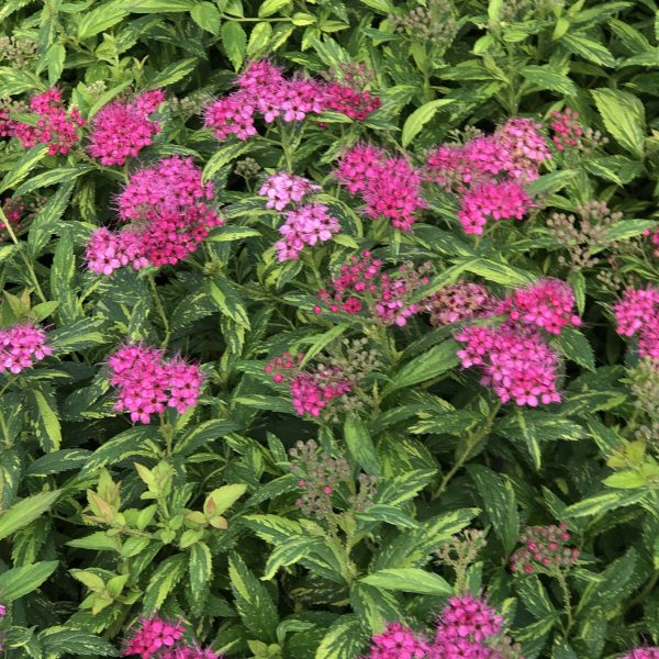 SPIRAEA DOUBLE PLAY PAINTED LADY SPIREA