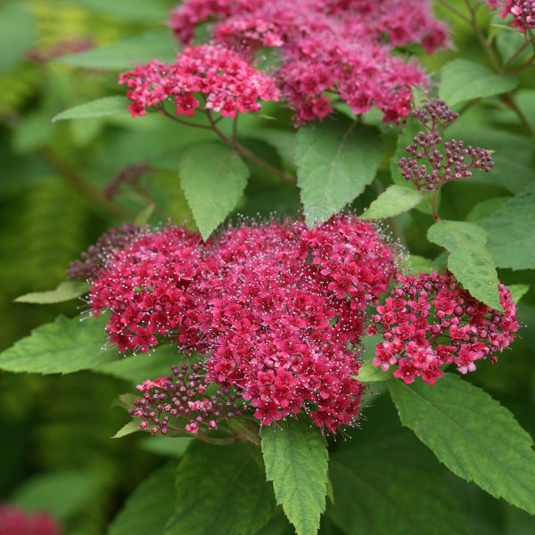 SPIRAEA DOUBLE PLAY RED SPIREA