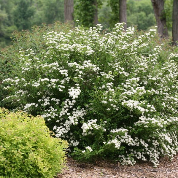 SPIRAEA WEDDING CAKE SPIREA
