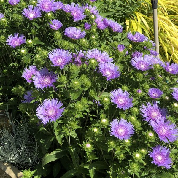 STOKESIA PEACHIES PICK STOKES ASTER