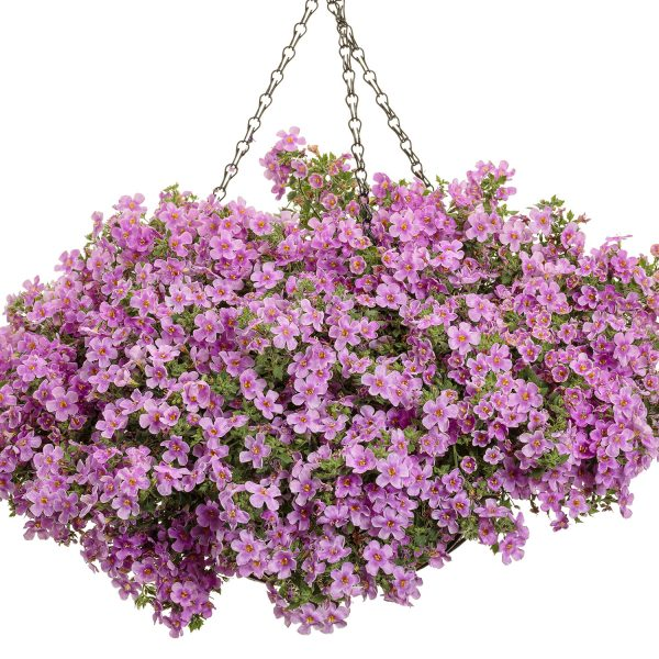 Snowstorm Pink Bacopa