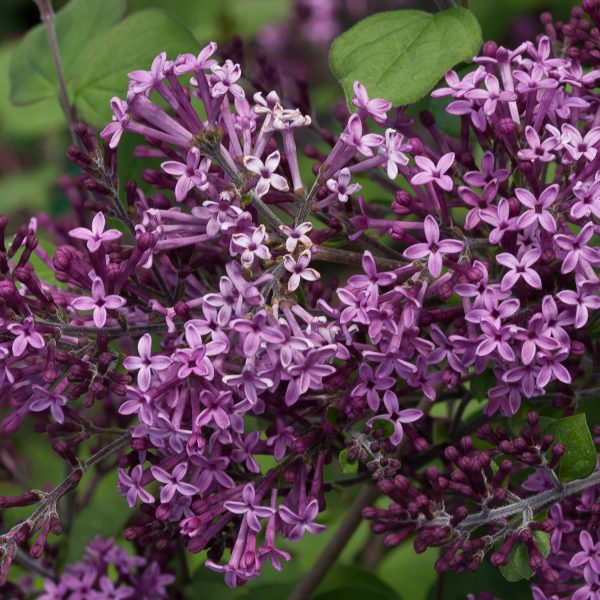 SYRINGA BLOOMERANG DARK PURPLE LILAC REBLOOMING