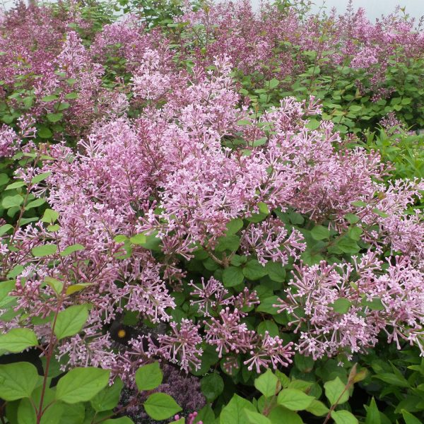 SYRINGA BLOOMERANG PURPLE LILAC REBLOOMING