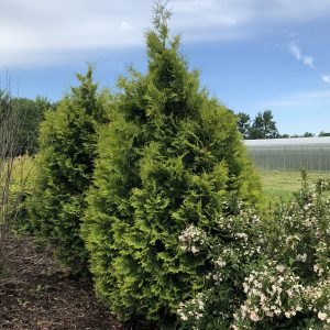 THUJA FILIPS MAGIC MOMENT ARBORVITAE