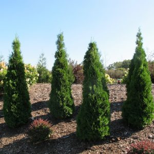 THUJA NORTH POLE ARBORVITAE