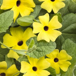 THUNBERGIA LEMON A PEEL BLACK EYED SUSAN VINE