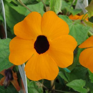 THUNBERGIA ORANGE A PEEL BLACK EYED SUSAN VINE