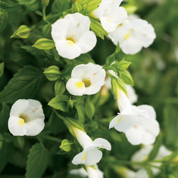 TORENIA CATALINA WHITE LINEN WISHBONE FLOWER