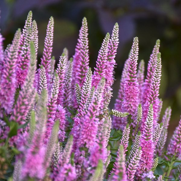 VERONICA MAGIC SHOW PINK POTION SPEEDWELL SPIKE