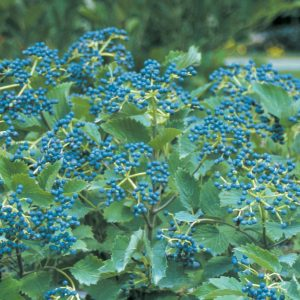 VIBURNUM BLUE MUFFIN VIBURNUM ARROWWOOD