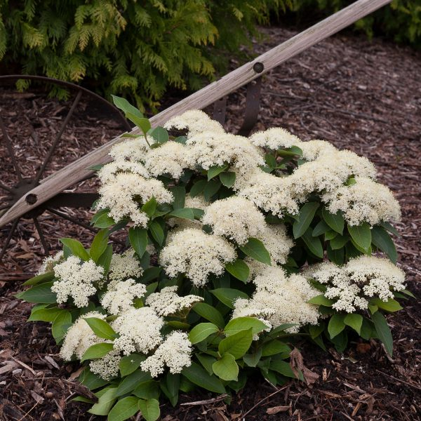 VIBURNUM LIL DITTY NAKED WITHEROD