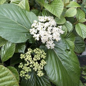 Naked Witherod - Viburnum