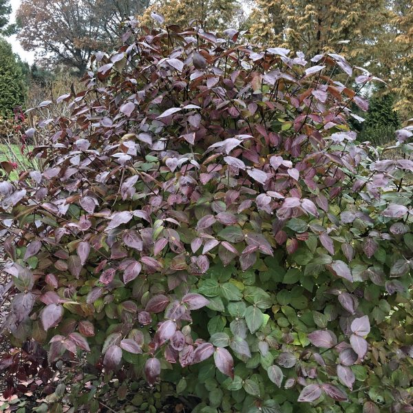 VIBURNUM SPICE BABY NAKED WITHEROD