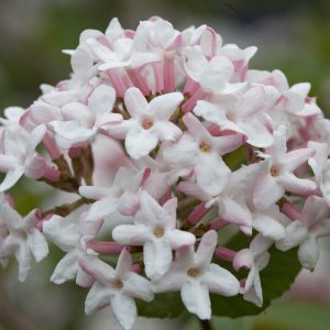 VIBURNUM SPICE GIRL NAKED WITHEROD