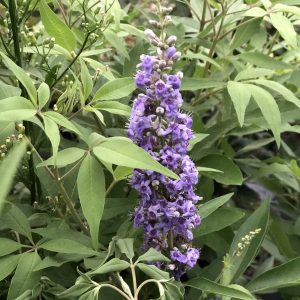 VITEX BLUE DIDDLEY CHASTETREE