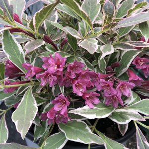 WEIGELA MY MONET PURPLE EFFECT WEIGELA