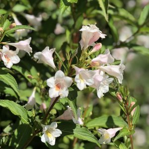 WEIGELA SONIC BLOOM PEARL WEIGELA