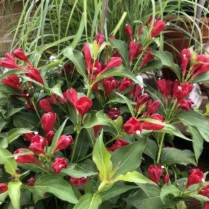 WEIGELA SONIC BLOOM RED WEIGELA REBLOOMING