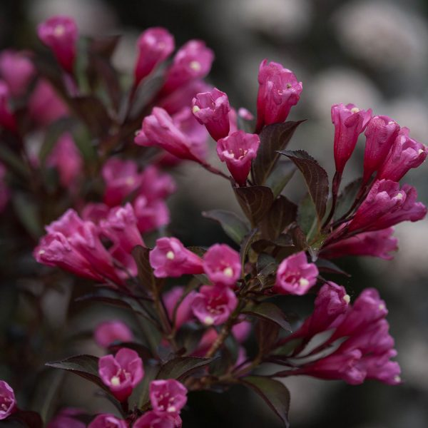 WEIGELA WINE AND ROSES WEIGELA