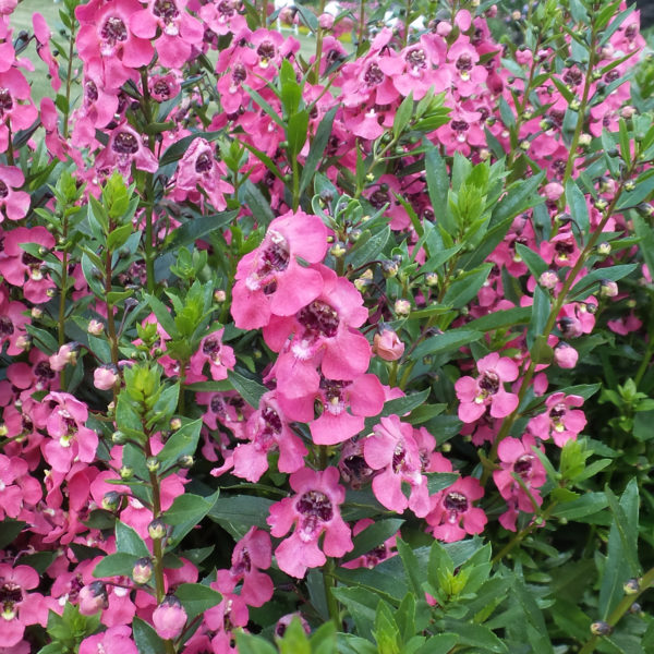 Angelonia Angelface Perfectly Pink Summer Snapdragon