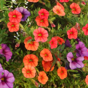 Calibrachoa Superbells Dreamsicle Millionbells