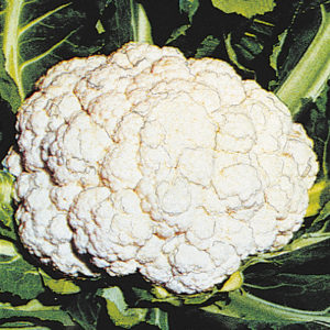 Cauliflower Snow Crown Cauliflower