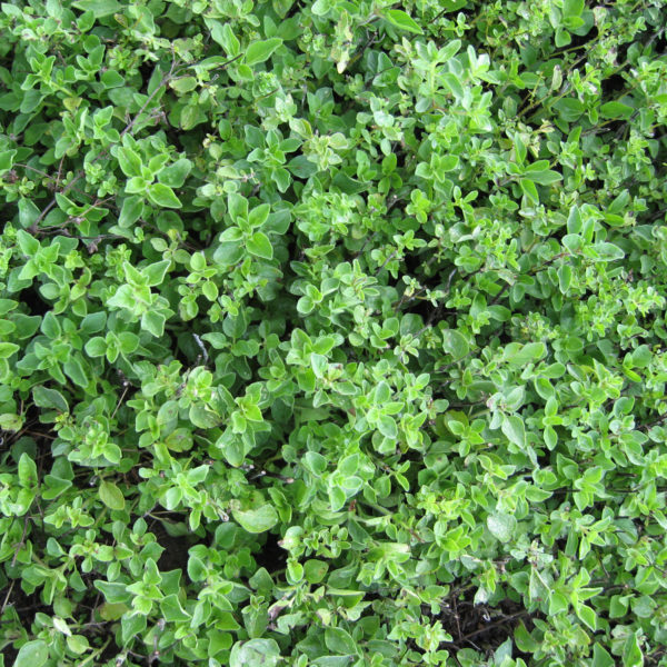Oregano Greek Oregano