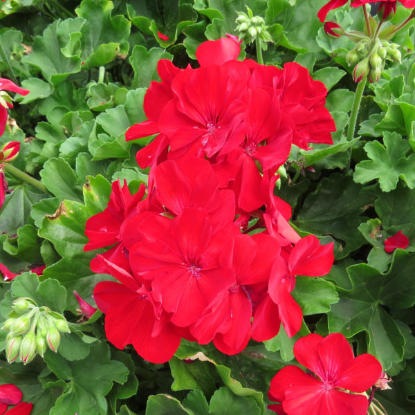 Pelargonium Boldly Dark Red Geranium