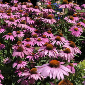 Echinacea Ruby Giant Coneflower