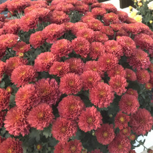 Garden Mum Flamingo Cranberry Red