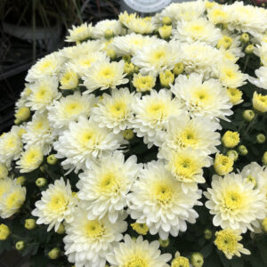 GARDEN MUM MOONGLOW WHITE