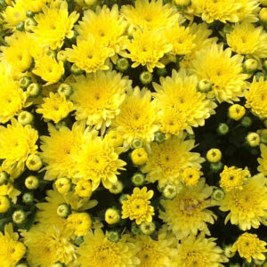 GARDEN MUM MOONGLOW YELLOW