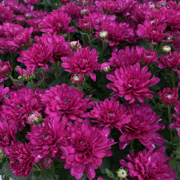 GARDEN MUM MORGANA PURPLE