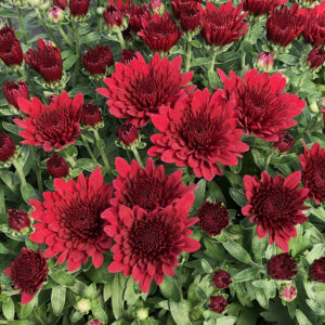 GARDEN MUM MORGANA RED