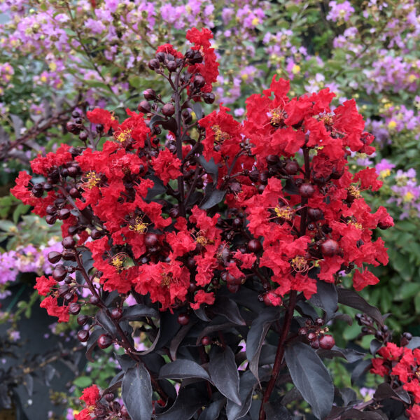 Lagerstroemia Center Stage Red