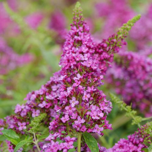 BUDDLEIA LO AND BEHOLD RUBY CHIP BUTTERFLY BUSH