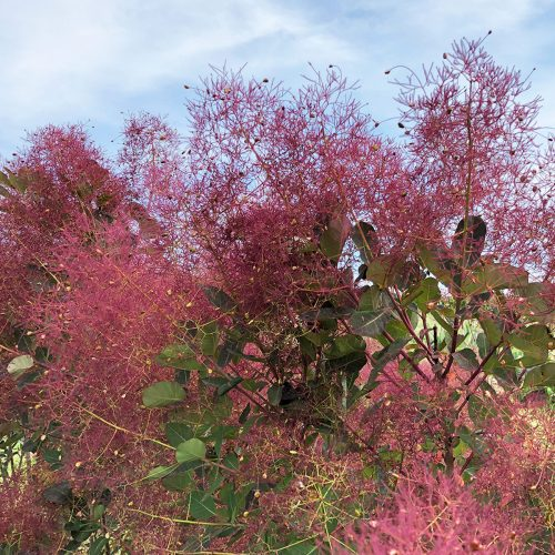 COTINUS THE VELVET FOG SMOKEBUSH