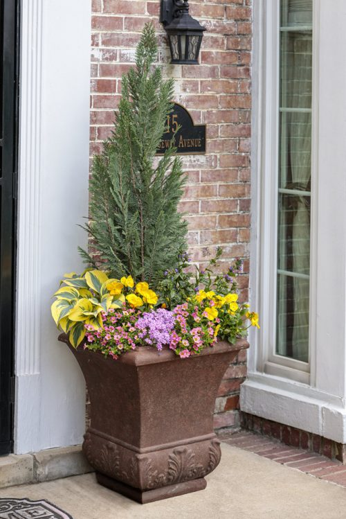 Pinpoint Blue evergreen spring pot_Proven Winners